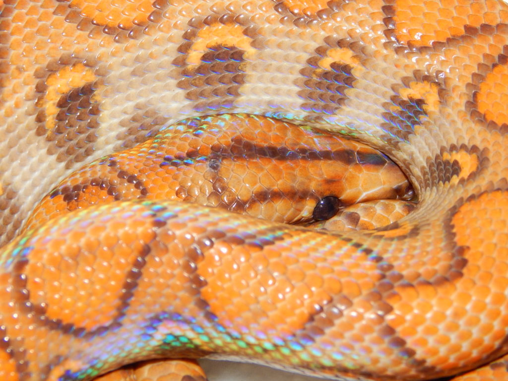 Hypo yearling