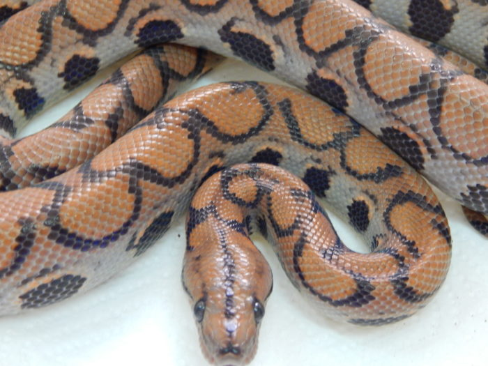 Bj pastel yearling