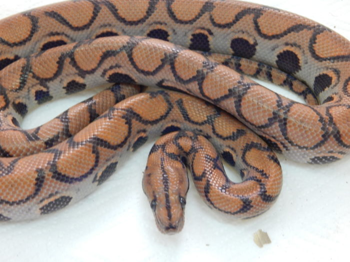 UK pastel BRB yearling
