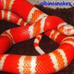 albinohondurensis2