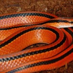 red mountain rat snake