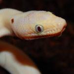 Blue -eyed CRB leucistic