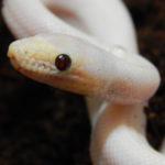 Black-eyed CRB leucistic