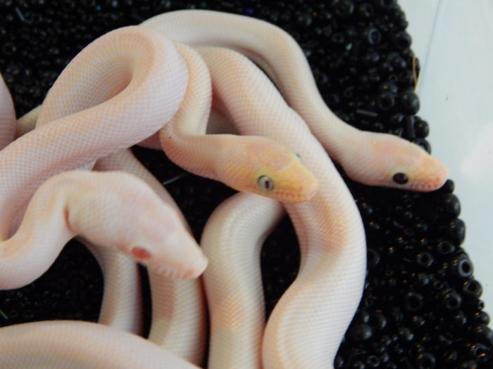Blue and black-eyed CRB leucistic.  together with snow.