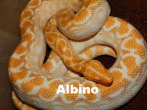 Albino hyb.
