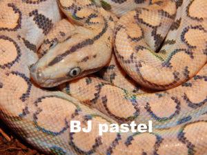 BJ pastel