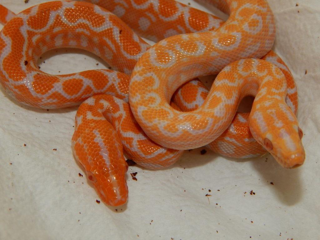 two albino babies