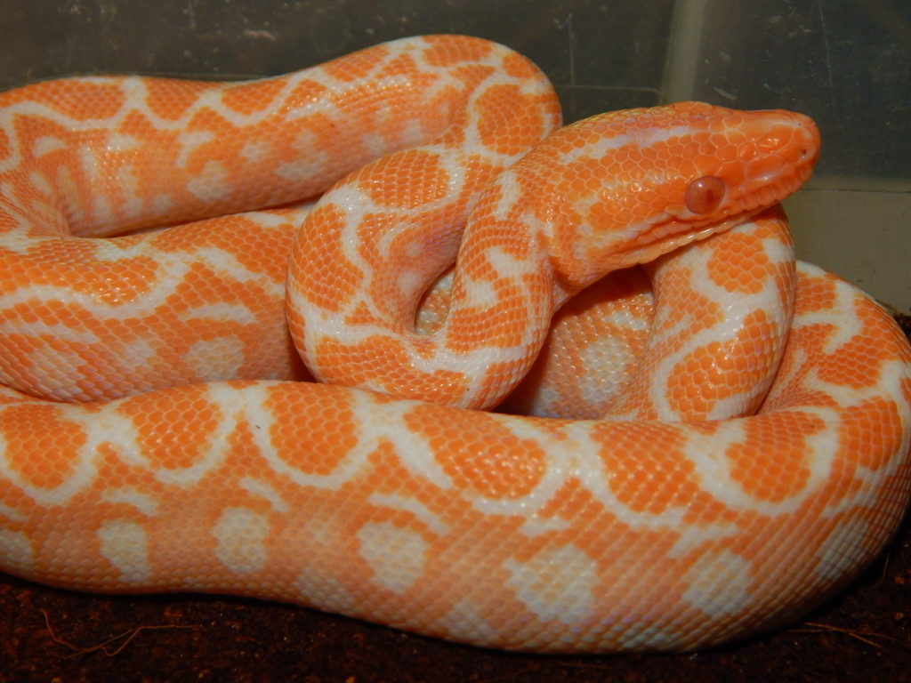 albino high orange baby