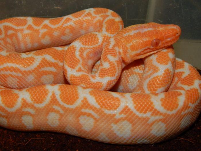 albino high orange baby