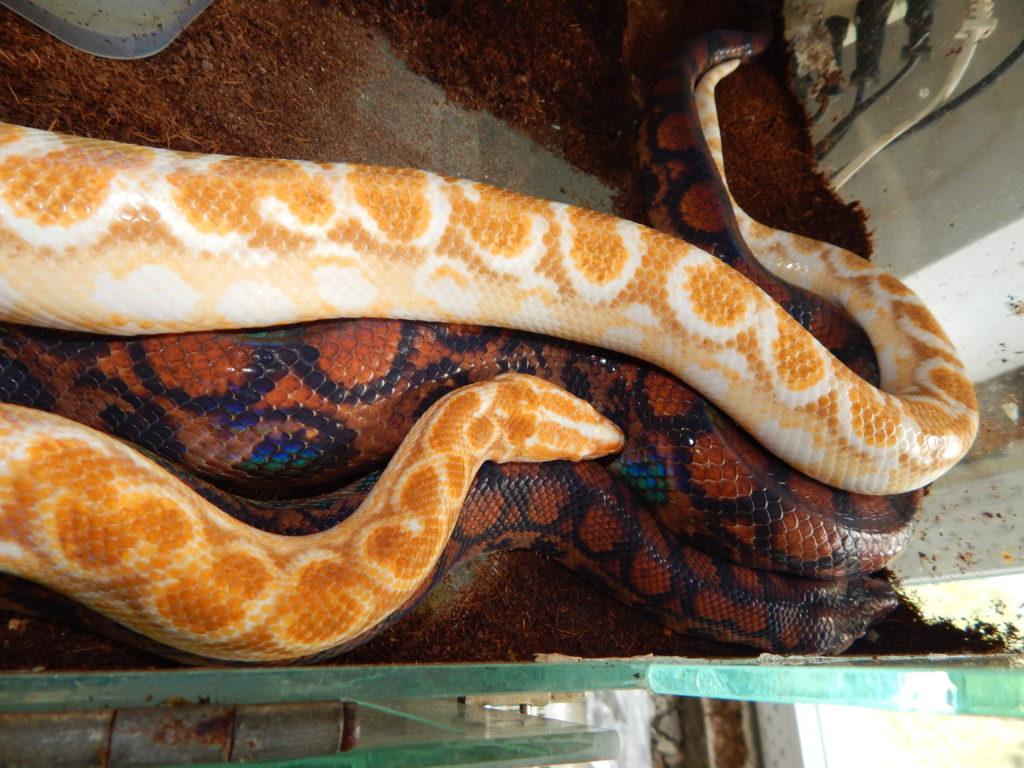 Albino mating