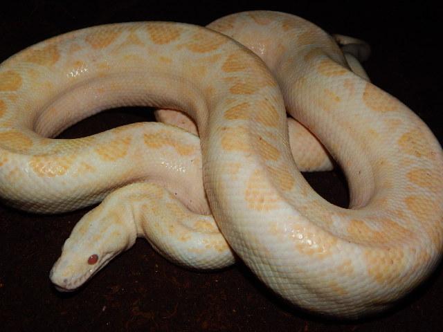 albino male CB 15 - 800 eur