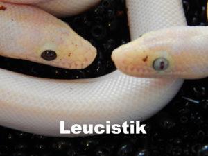 Leucistik