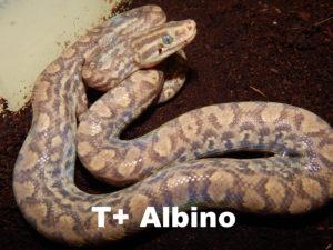 T+ albino