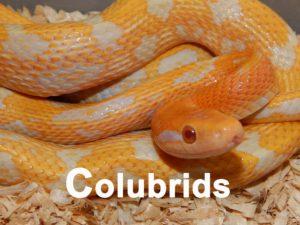 colubrids
